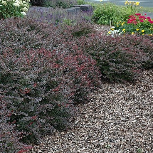 Crimson Pigmy Barberry |Crimson Pigmy Barberry for Sale