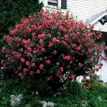 Double Red Rose of Sharon Tree