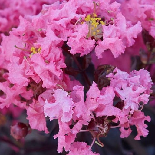 Black Diamond Pink Shell Crape Myrtle