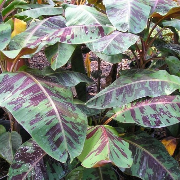 Rojo Red Banana Plant Enormous Green Leaves With Deep