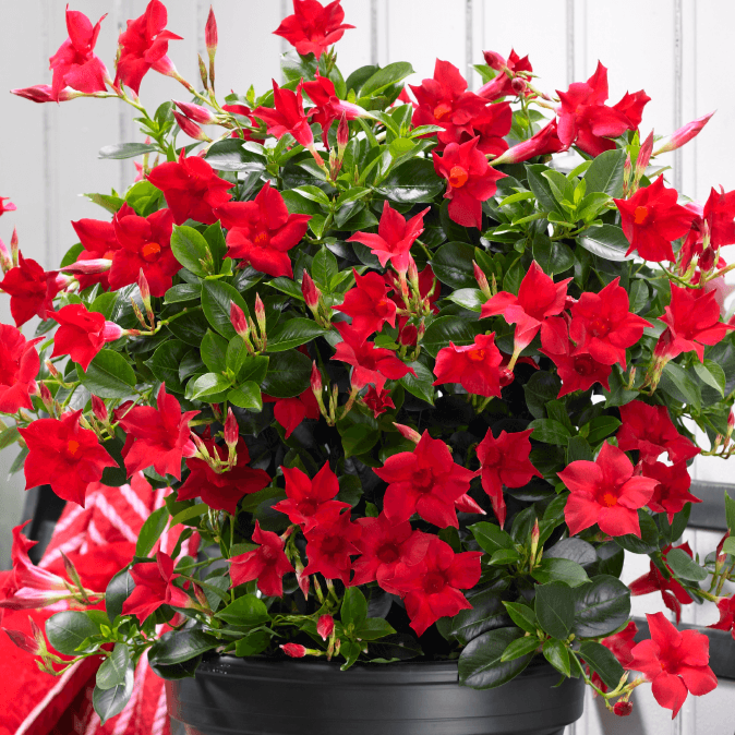 Red Mandevilla Vine on design red, pots red, flowers red, cactus red, nature red, peppers red, ornamental grasses red, mums red, berries red, orchids red, animals red,