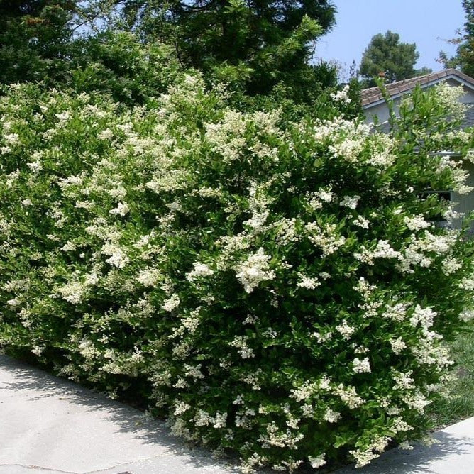 Wavy Leaf Ligustrum Hedge