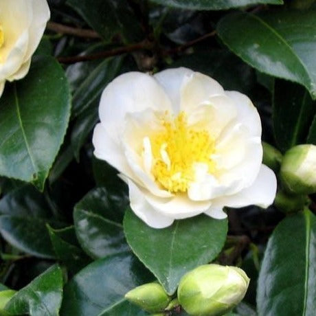 Camellias White
