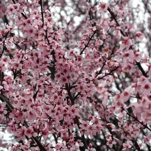 Newport Flowering Plum Tree