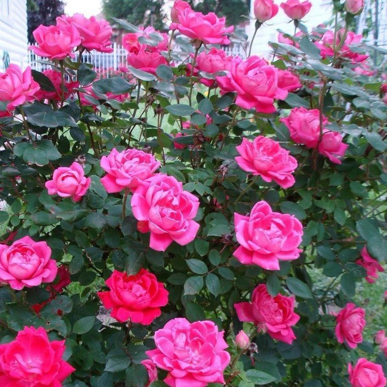 Pink Double Knock Out Rose Add Sweet Pink Color