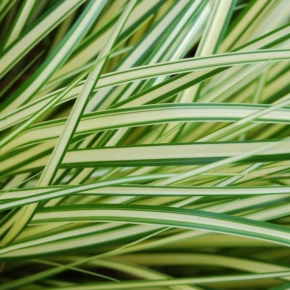 Carex Evergold Sedge foliage