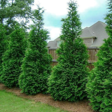 Mature privacy trees