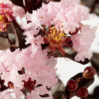 Black Diamond Crape Myrtle Blush