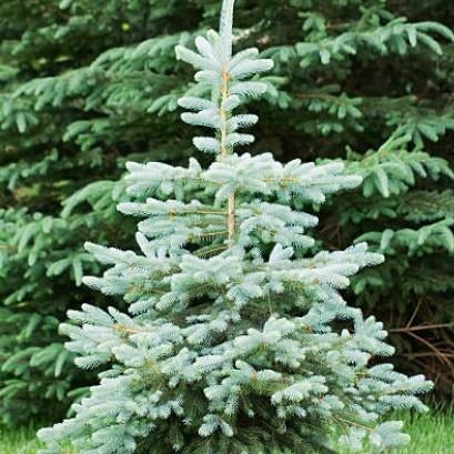 Blue Wonder Colorado spruce Tree