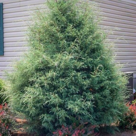 Carolina Sapphire Cypress for Sale