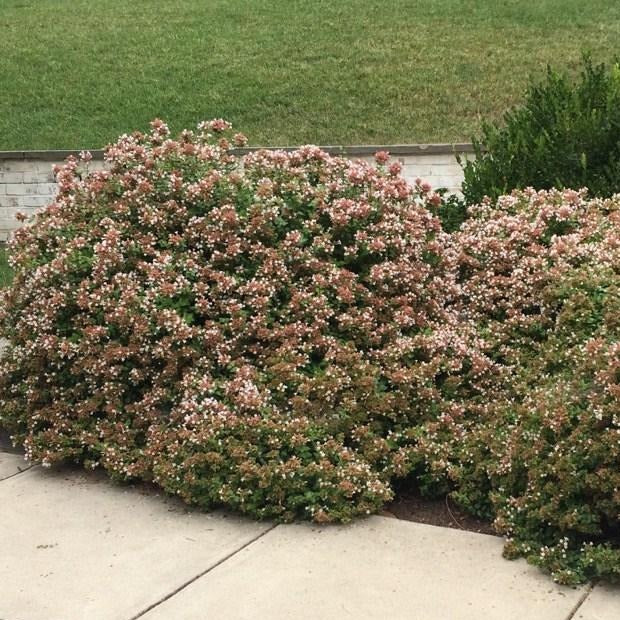 Rose Creek Abelia Bush
