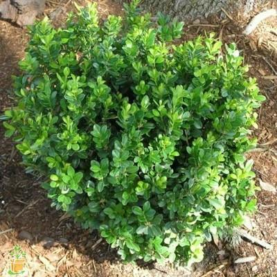 Baby Gem Boxwood for Sale