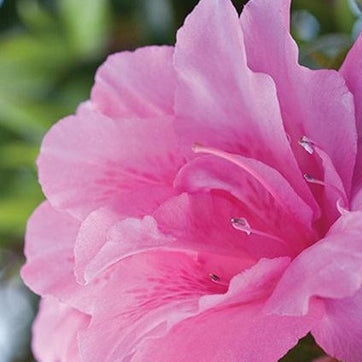 Autumn Carnation™ Encore® Azalea