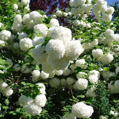 Common Snowball bush