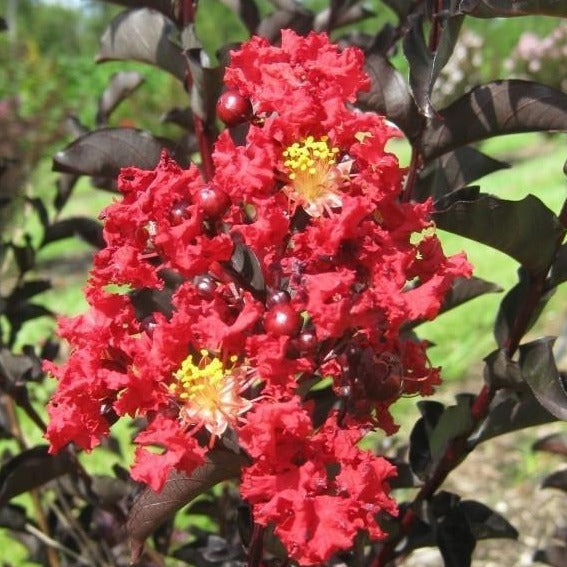 Black Diamond Crimson Red Crape Myrtle