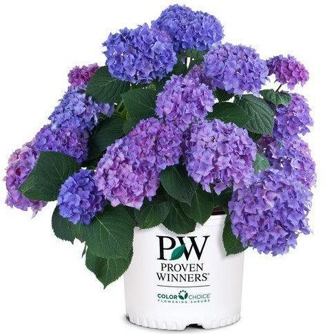 Let's Dance® Rhythmic Blue® Hydrangea