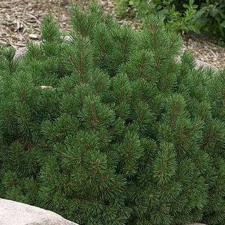 Slowmound Mugo Pine