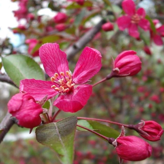 Profusion Crabapple Tree
