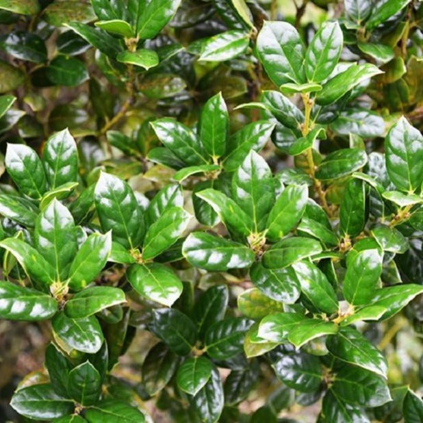 Dwarf Burfordi Holly Hedge