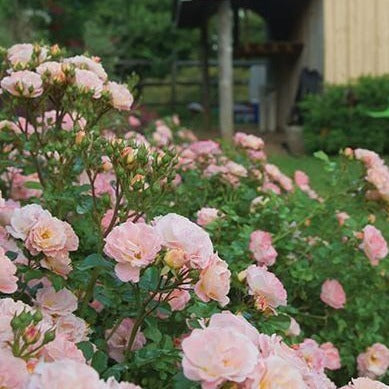 Peach Drift Roses