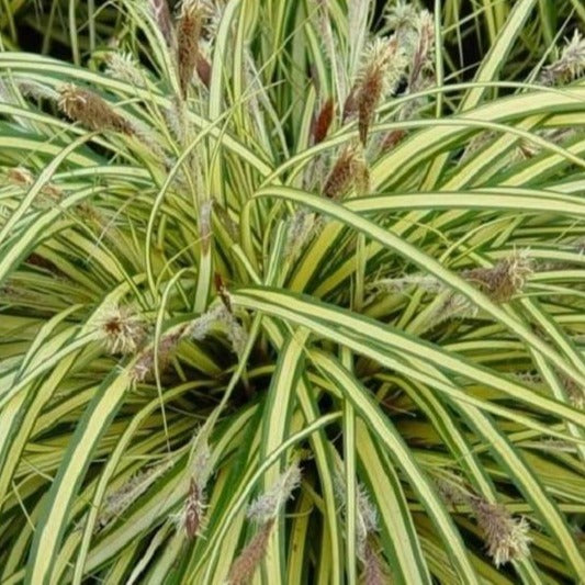 Carex Evergold Sedge