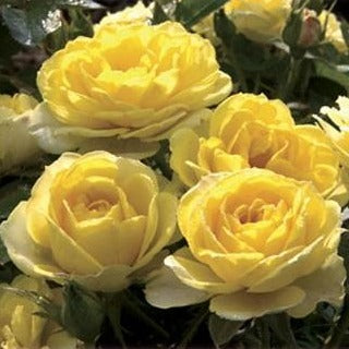 Yellow Sunblaze Miniature Rose
