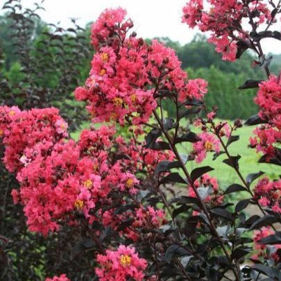 Midnight Magic Crape Myrtle for Sale