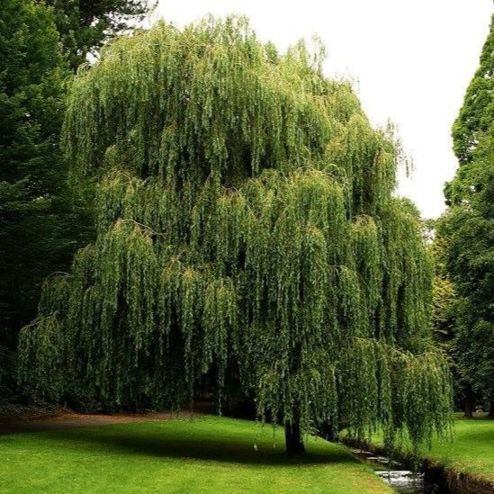 Weeping Willow | Weeping Willow Tree for Sale