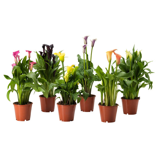 Calla Lilies Assorted Colors