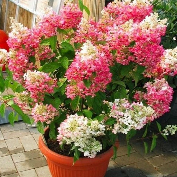 Pinky Winky Hydrangea Tree for Sale