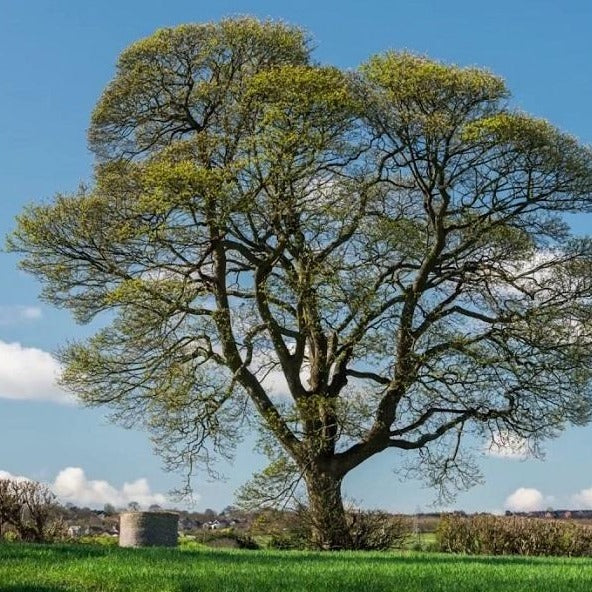 American Sycamore Tree for Sale