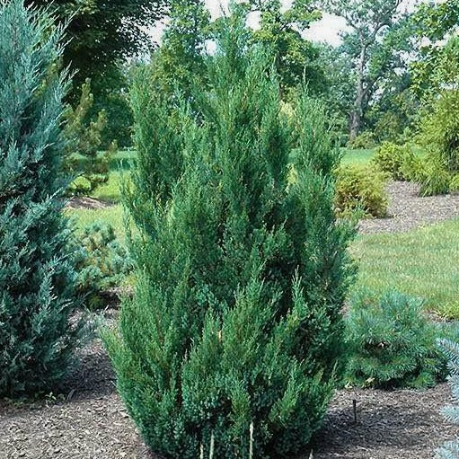 Blue Point Juniper Tree