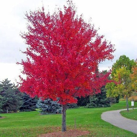 Autumn Blaze Maple for Sale