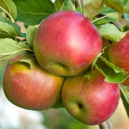 Fuji Apple Tree