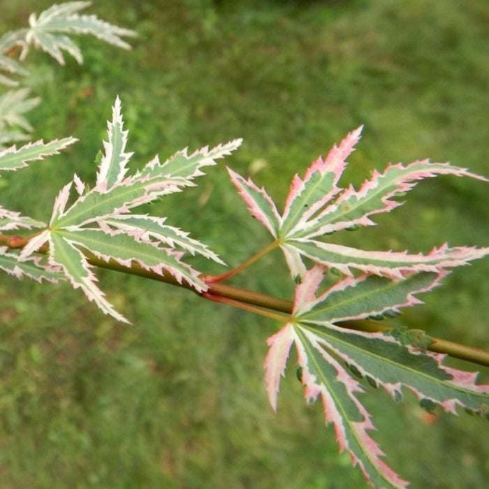 Butterfly Variegated Japanese Maple Tree Leaves