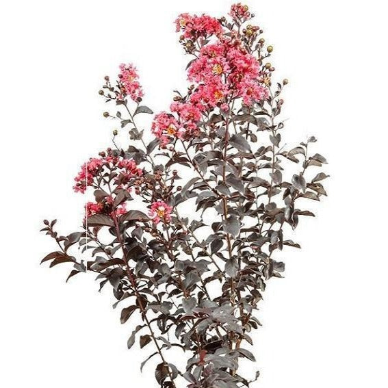 Black Diamond Shell Pink Crape Myrtle for Sale