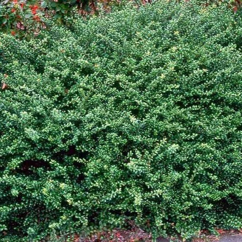 Compact Japanese Holly Shrub