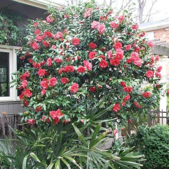 Greensboro Red Camellia