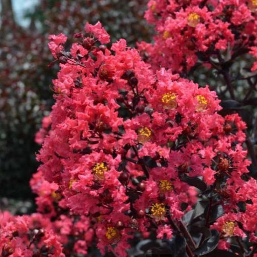 Midnight Magic Crape Myrtle