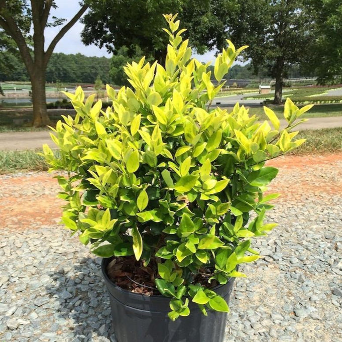 Howardi Ligustrum