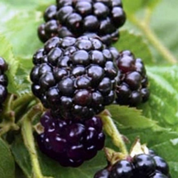Thornless Blackberry Natchez