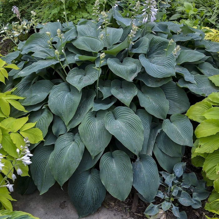 Blue Angel Hosta