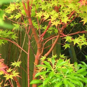 Coral Bark Maple Tree
