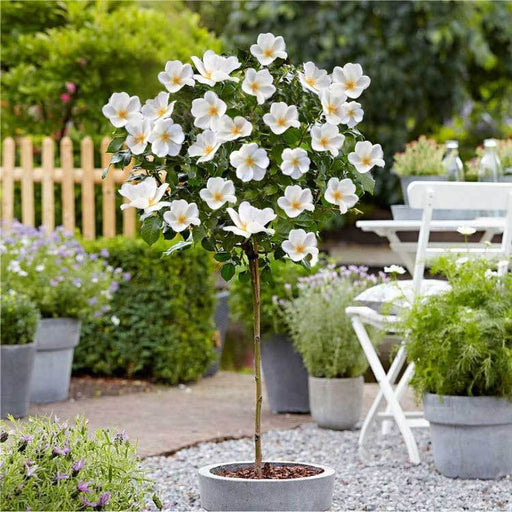 Knock Out White Rose Tree
