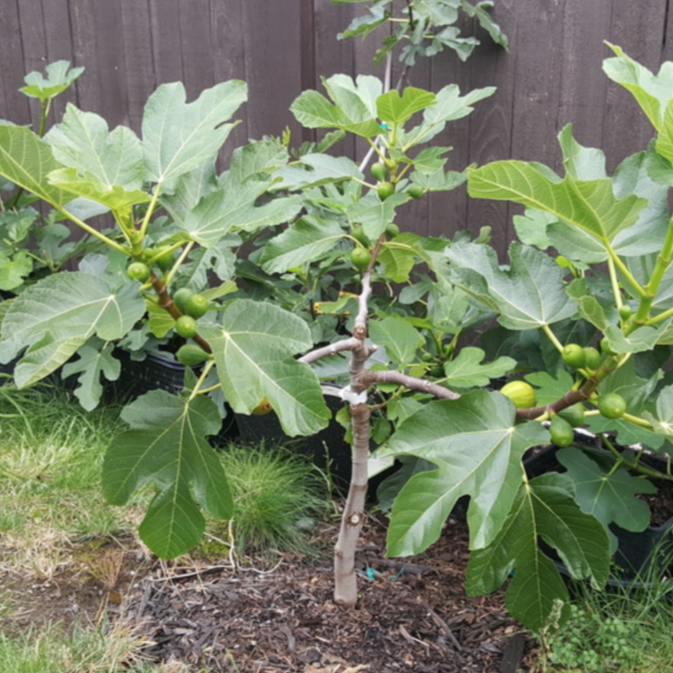 Little Miss Figgy Fig Tree