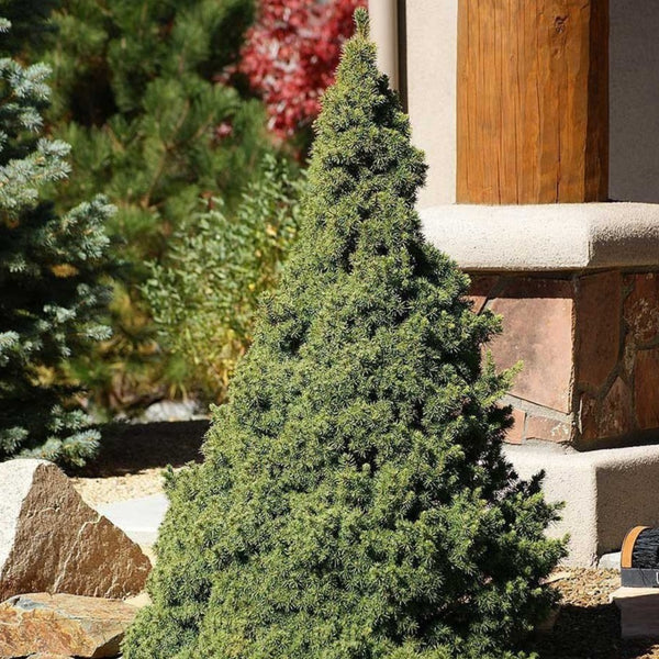 Dwarf Alberta Spruce for Sale