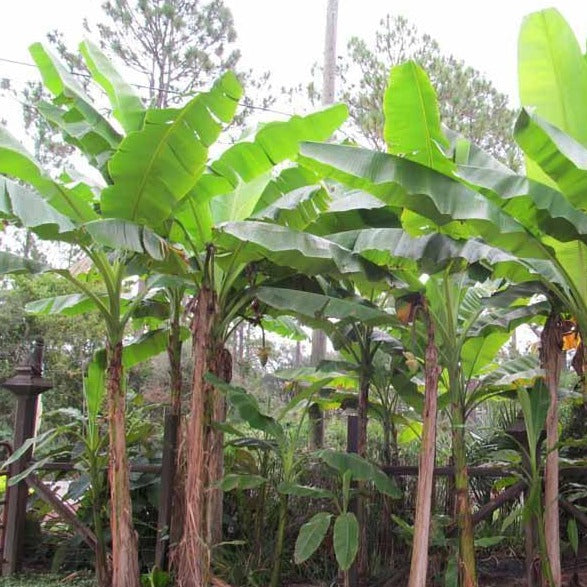 Basjoo Ornamental Banana Tree