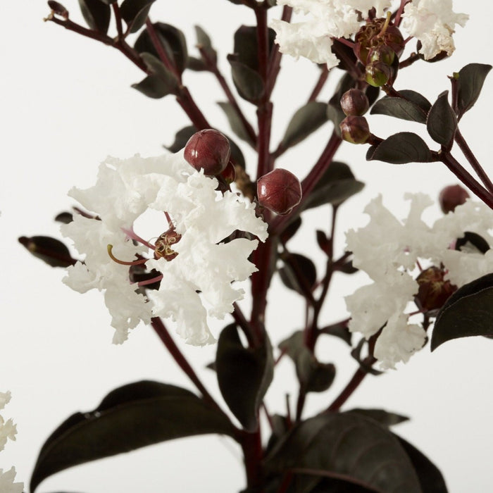 Black Diamond Pure White Crape Myrtle for Sale