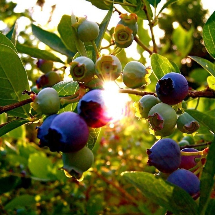Triple Blueberry Bush