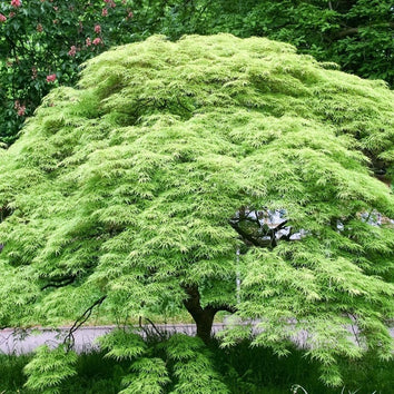 Weeping Viridis Japanese Maple
